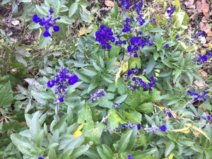 Annual salvia that has decided to be a perennial.