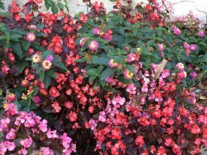 Begonias and lantana