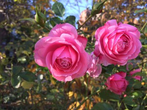 Not knock out roses. Do not know why they are in bloom.