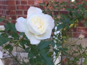 Roses near park house